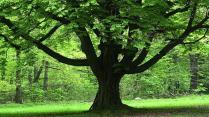 oak-tree