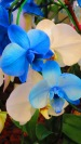 blue-and-white-orchid