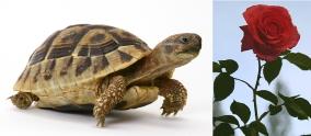 tortoise-rose